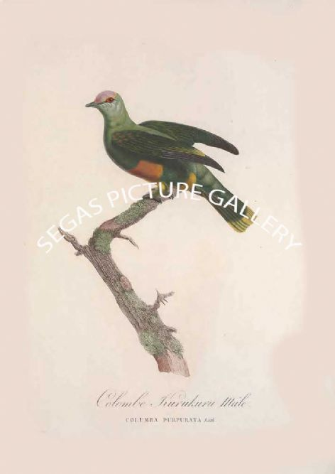 Fine art print of the Colombe Kurukuru, Mâle by the artist Pauline de Courcelles Knip (1838)